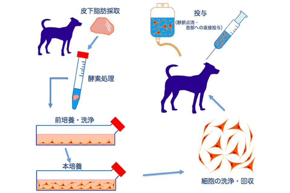 脂肪幹細胞を用いた再生医療